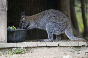 wallaby while eating