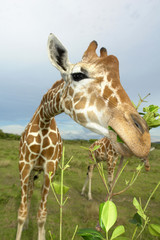 Philippinen, Calauit Island, Giraffe frisst Blätter