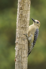 Hoffmann Woodpecker-Male
