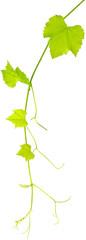 pampre et feuilles de vigne