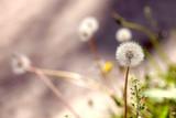 white dandelions - 74024250
