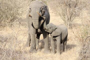 Elefant mit Jungtier Krüger Nationalpark Südafrika Safari