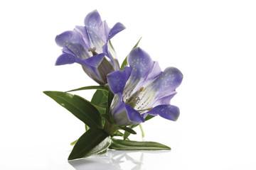 Blaue Enzianblumen (Gentiana) close-up