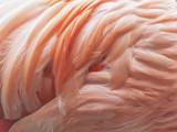 Flamingo Feathers Background