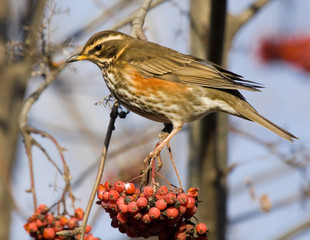 Redwing on branch of mountain ash