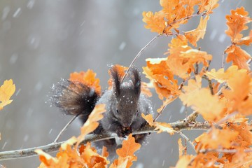 Squirrel in winter while snowing, Sciurus vulgaris