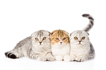 Three lop-eared scottish cats together looking at camera. isolat