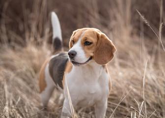 Beagle dog in nature