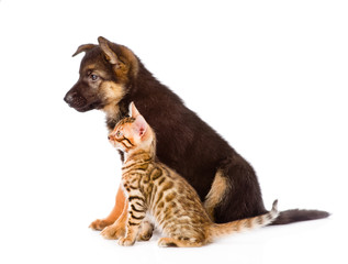 german shepherd puppy and bengal kitten with red hat. isolated o
