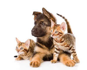 german shepherd puppy and two bengal kittens looking away. isola