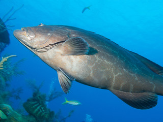 big black grouper (Mycteroperca bonaci), cuba