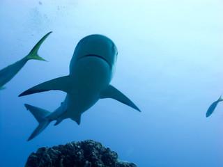 cuba, Caribbean reef sharks (Carcharhinus perezi)