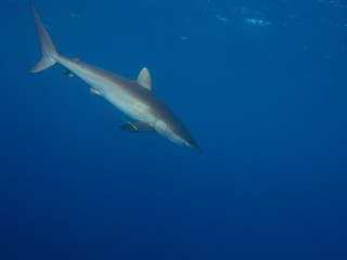 Silky shark (Carcharhinus falciformis) in blue water