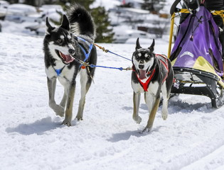 Sled dogs in speed racing, Moss, Switzerland
