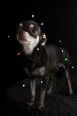 Christmas chihuahua portrait