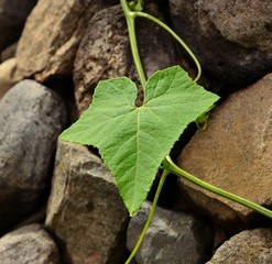 Climber plant leaf on stone wall