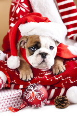 christmas dog, english bulldog wearing santa