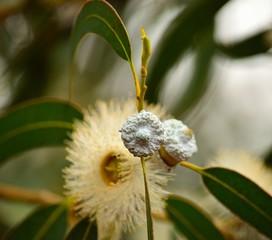 Eucalyptus in flowering process