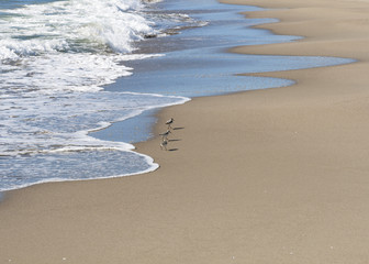 Small flock of Sandpipers feeding at a beach, Italy.