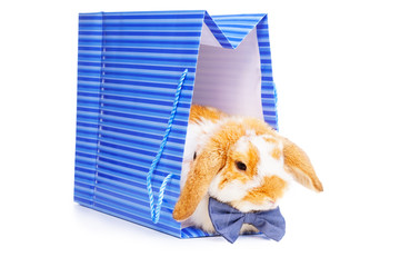 Cute male bunny with blue bow sits in present bag