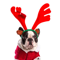 French bulldog dressed as reindeer Rudolph over white
