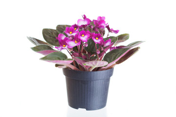 Violet a saintpaulia in a pot on a white background