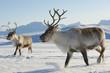 Leinwanddruck Bild - Reindeers in natural environment, Tromso region, Northern Norway
