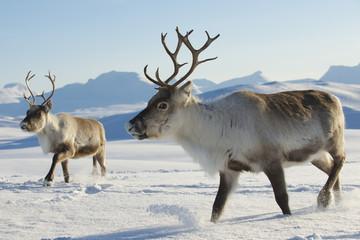 Reindeers in natural environment, Tromso region, Northern Norway