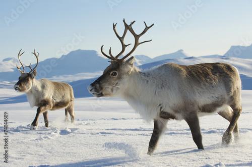 Leinwanddruck Bild Reindeers in natural environment, Tromso region, Northern Norway
