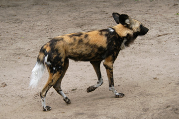 African wild dog (Lycaon pictus)..