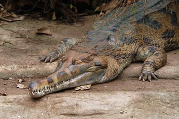 False gavial (Tomistoma schlegelii).