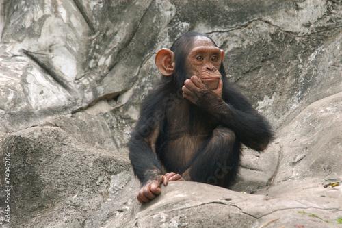 Papiers peints Pays d Afrique Little chimpanzee (Pan troglodytes)..