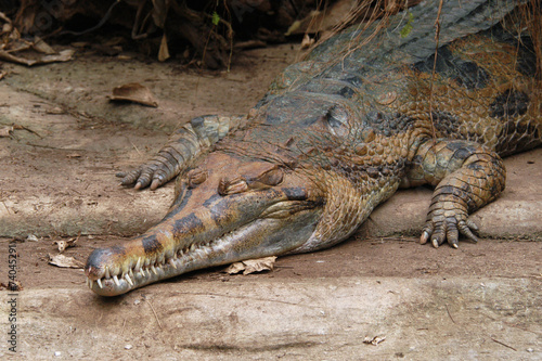 False gavial (Tomistoma schlegelii).