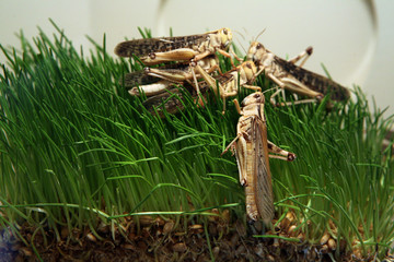 Desert locust (Schistocerca gregaria) eating green grass..