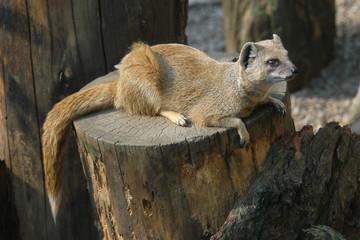 Yellow mongoose (Cynictis penicillata)..