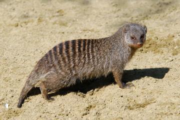 Banded mongoose (Mungos mungo). .