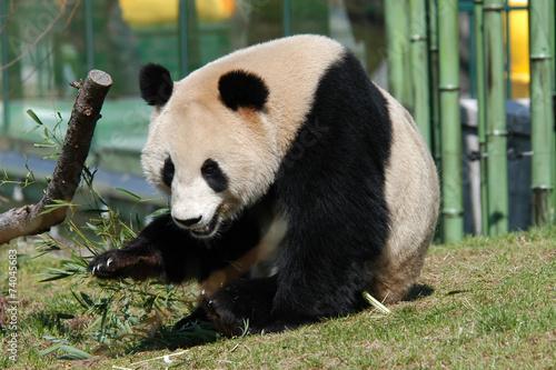 Keuken foto achterwand Panda Giant panda (Ailuropoda melanoleuca).