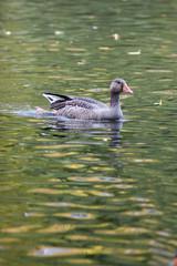 Anser anser, Greylag Goose.