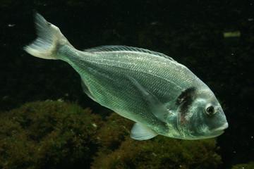 Salema porgy fish (Sarpa salpa)..