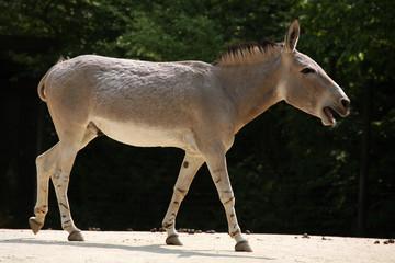 Somali wild ass (Equus africanus somaliensis)..
