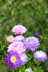 flowers of different beautiful asters