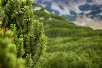 Closeup of fresh pine tree with cones
