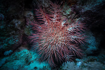 Poisonous crown of thorns sea star. Acanthaster plancii