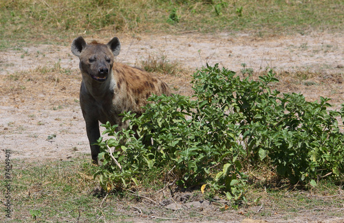 In de dag Hyena Hyäne in Afrika