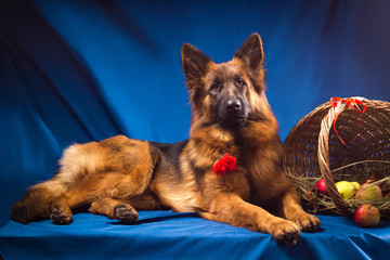 German shepherd with a wicker basket. Blue background.