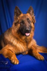 Portrait of a German Shepherd. Blue background.