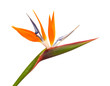 canvas print picture - Strelitzia reginae