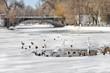 Постер, плакат: Птицы зимой плавают в пруду городского парка