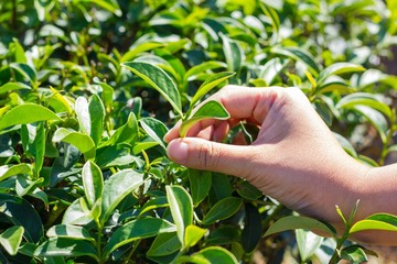 hand of woman plucking fresh green tea leaf.