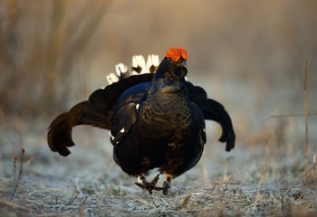 Portrait of a Gorgeous lekking black grouse (Tetrao tetrix).